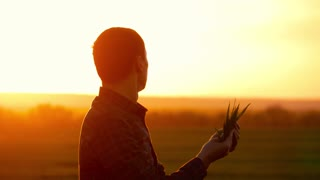 Farmer in a field holding and examining crop in his hands at sunset. Young farmer in a field examining wheat crop at sunset.