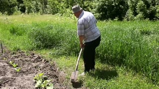 Farmer working in the garden with the help of a shovel digging the ground, on a sunny day. Preparing for the cultivation of vegetables.