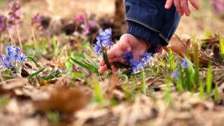 Child's hands picking spring flowers blue snowdrops in the woods. Beautiful spring flowers in the wild.