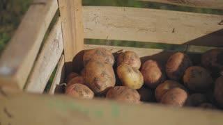 Fresh potatoes in wooden box.