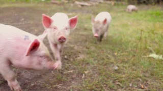 Funny cute little piglets at an animal farm. Little piglets household. Lovely pets.