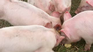 Funny cute little piglets at an animal farm.