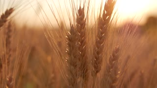 Golden ears of wheat on the field at sunset. Close up of ripe wheat ears. Beautiful backdrop of ripening ears of golden field.