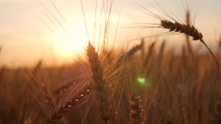 Golden ears of wheat on the field at sunset.