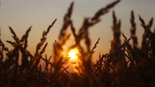Golden ears of wheat on the field. Sunset light.