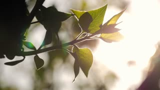 Green leaves are highlighted by sun. Beautiful natural green sunshine bokeh background. Blurry fresh summer foliage of maple trees in backlight of sunset cozy shining sun with sunflares and sunbeams.