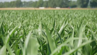 Green, young corn on the field in early summer morning.