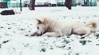 Homeless white dogs on a snowy Street in Winter. Street dogs or homeless dogs.
