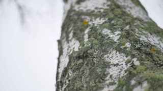 Horizontal Texture of Birch Bark.