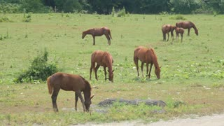 Horse grazing on green meadow near forest on sunny day. Herd horses grazing on pasture. Farm animals graze on green meadow.