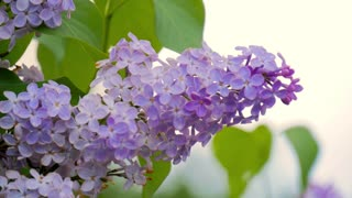 Lilac purple flowers close up, natural seasonal spring floral macro background with copy space. The wind sway the branches with beautiful flowers.