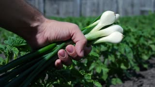 Man hand holding white onions outdoors close up.