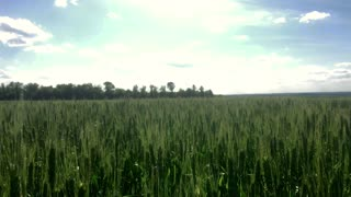 Movement along the wheat field, green ears in the wind, natural, nature, organic.