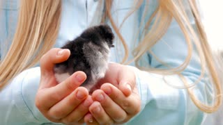 Newborn black and yellow chicken in children hands. Baby chick on a human palm closeup, on blurred background.