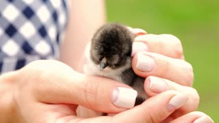 Newborn black and yellow chicken in woman hands. Baby chick on a human palm closeup, on blurred background.