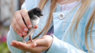 Newborn chicken in children hands. Baby chick on a human palm closeup, on blurred background.