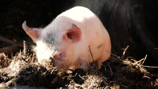 One young piglet on hay and straw at pig breeding farm. Happy pigs on pig farm. Domestic pigs. Pigs on a farm in the village.