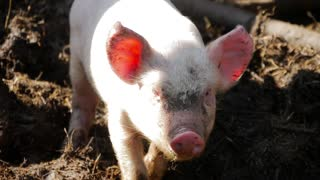 One young piglet on hay and straw at pig breeding farm.