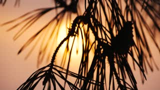 pine branches at sunset close-up