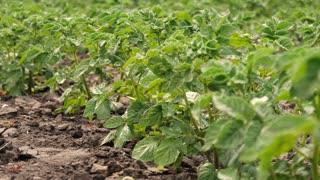 Potato bush in the garden.