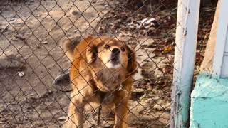 Red dog whines with doghouse on the chain and in the enclosure.