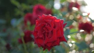 Red Rose flower blooming in flower garden, sun flares.