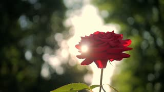 Red Rose flower blooming in flower garden, sun flares.