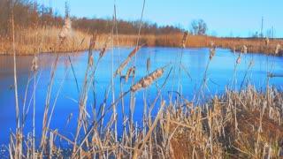 Reeds on the lake. Autumn dry lake reeds.