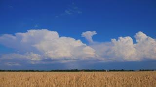 Ripe wheat field, blue sky, white clouds.