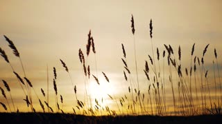 silhouette of grass flower on sunset background