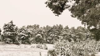 Snowy pine trees on a winter landscape. Fir tree is covered by ice in winter.