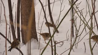 Sparrows foraging for food in the snow on a very cold winters day.