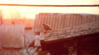 sparrows on house roof