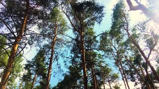Sun light shining through pine trees branches. Walking through pine forest and looking up to top of trees. Shot using an a camera crane.