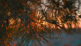Sunset behind the pine tree branches.