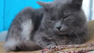 The cute gray cat.