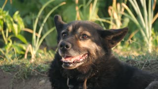 The dog looks at the camera, is surprised and presses his ears. The dog looks sadly at the owner. Close-up.