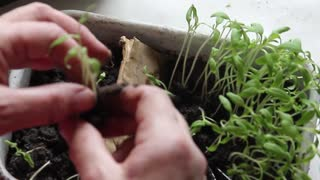 The hand of a adult woman are planting the seedlings into containers with the soil.