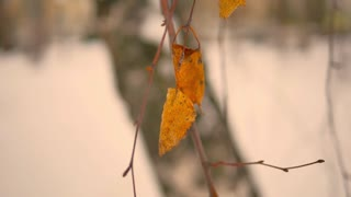 Three yellow leaves covered with snow close-up. Winter