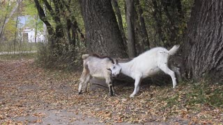 Two goats fight on the forest