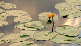Water lily with green leaves on the lake.