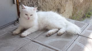 White cat with blue eyes on the street.
