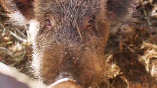 Wild boars on the animal farm.Large wild boar female. Pig licks the camera.