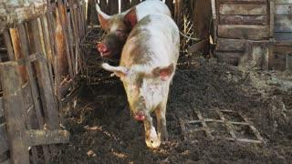 Wild boars on the animal farm.Large wild boar female. Pig licks the camera.