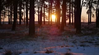 Winter Sunset in the pines wood. Gold sunlight among trunks of snowy pines and bushes - fairy tale of winter forest.