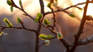 Young green buds on a tree at sunset