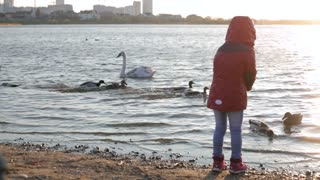 Two happy kids play and feed white swans and ducks at sunset
