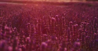 lavander field in slow motion