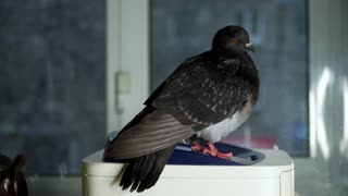 Dove on the window