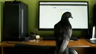 pigeon near the computer